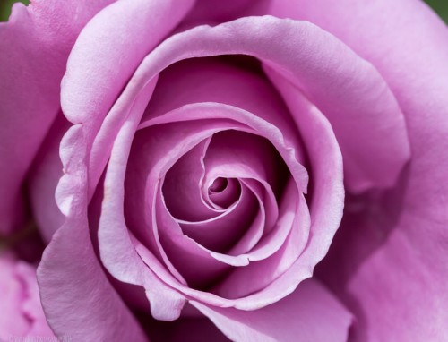 Pink Rose Flower Textures
