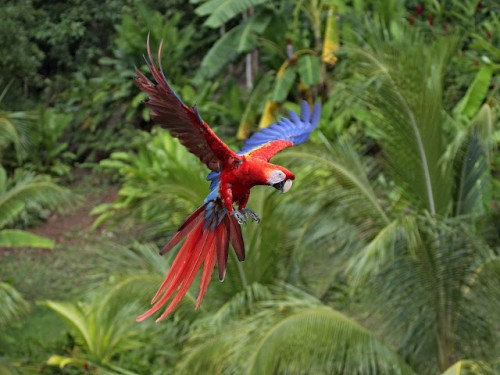 Red and blue parrot flying though the sky